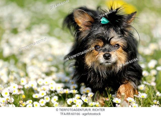 Yorkshire Terrier on flower meadow