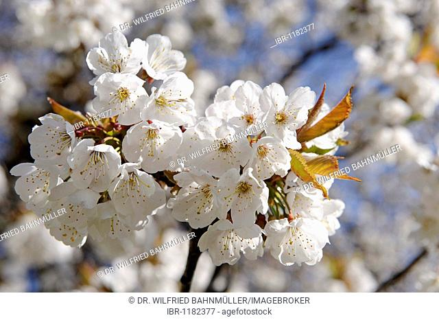 Blooming Wild Cherry (Prunus avium) near the hotel Knollhof, Gufidaun, Eisack Valley, South Tyrol, Italy, Europe