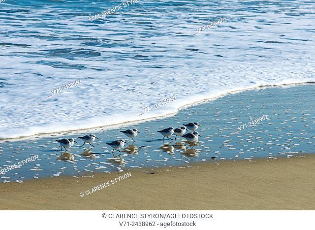 Sanderling (Calidris alba) Flock Manu Hopping on One Leg and Feeding on Beach