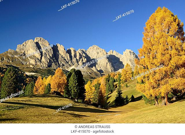 Geisler range seen above larch trees in autumn colors, Val Gardena, Dolomites, UNESCO World Heritage Site Dolomites, South Tyrol, Italy