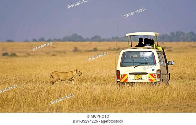 lion (Panthera leo), Safari tourists meet with the lion in Masai Mara, Kenya, Masai Mara National Park