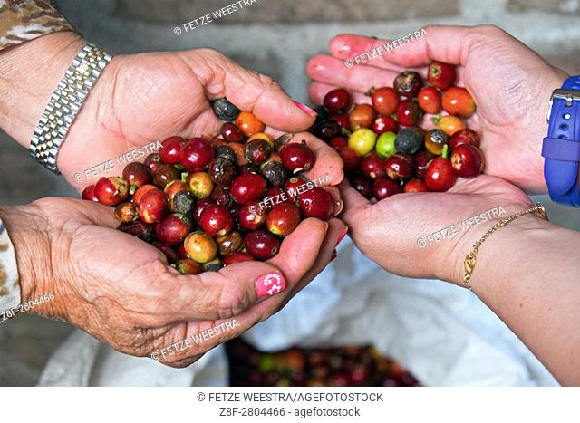 Coffee Beans in Hands Filandia (Quindío), Colombia