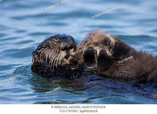 North American, USA, California, Moss Landing, Elkhorn Slough  Sea Otter with pup