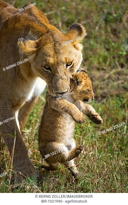 Lion (Panthera leo), lioness carrying cub in mouth, Masia Mara, national park, Kenya, East Africa