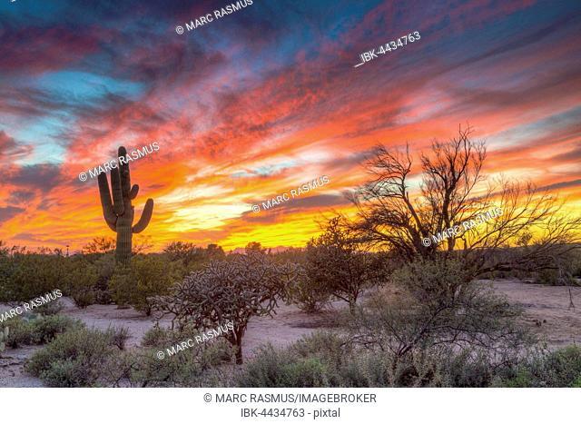 Desert landscape with saguaro cactus (Saguaro) at sunset, Saguaro National Park, Arizona, USA