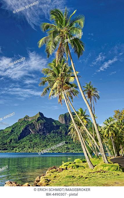 Palm trees infront of volcanic Mount Otemanu in Pofai Bay, Bora Bora, Society Islands, French Polynesia