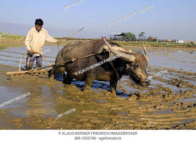 Rice farmer ploughing a flooded rice paddy with the help of a Water buffalo (Bubalus arnee), with reflections, Inle Lake, Shan State, Myanmar, Southeast Asia