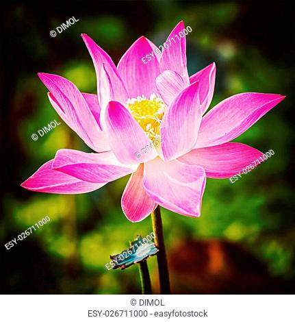 Faded Lotus Flower Stock Photos And Images Age Fotostock