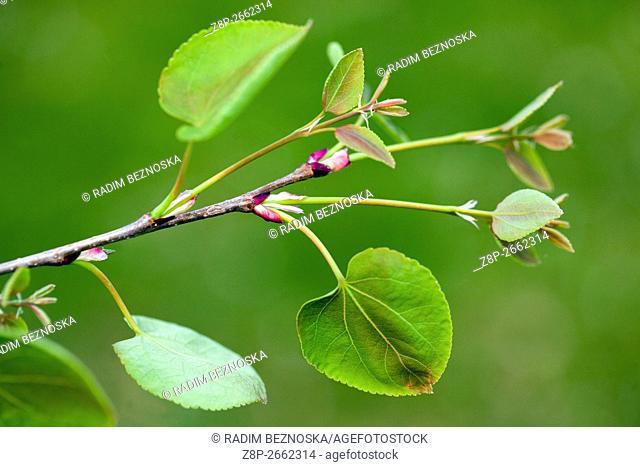 New fresh Leaves of Katsura Tree Cercidiphyllum japonicum