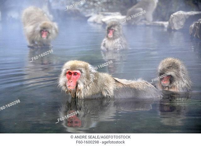 Japanese macaques, Macaca fuscata, take a bath inside a natural thermal spring, Jigokudani Monkey Park, Joshinetsu Kogen National Park Yamanouchi, Shimotakai