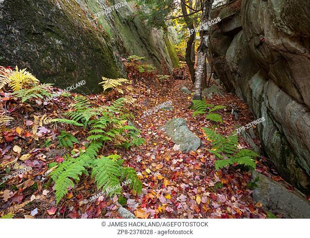 Pteridium aquilinum (Eastern Bracken) lines a trail during autumn in Killarney Provincial Park, Ontario, Canada