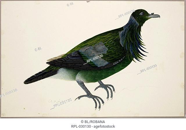 An immature Nicobar Pigeon 'Caloenas Nicobarica'. From an album of 51 drawings of birds and mammals made at Bencoolen, Sumatra, for Sir Stamford Raffles