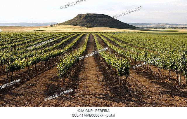 Rows of trees in rural vineyard