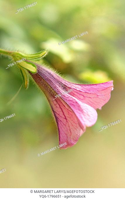 Beautiful pink surfinia close up, shallow depth of field