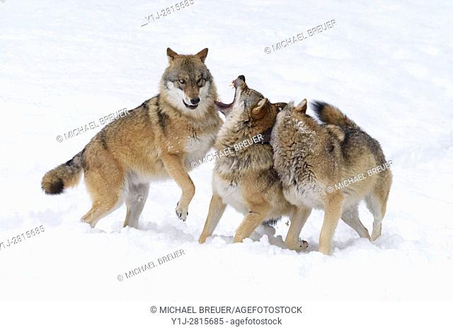 Fighting European Wolves in Winter, Canis lupus, Bavarian Forest National Park, Germany, Europe