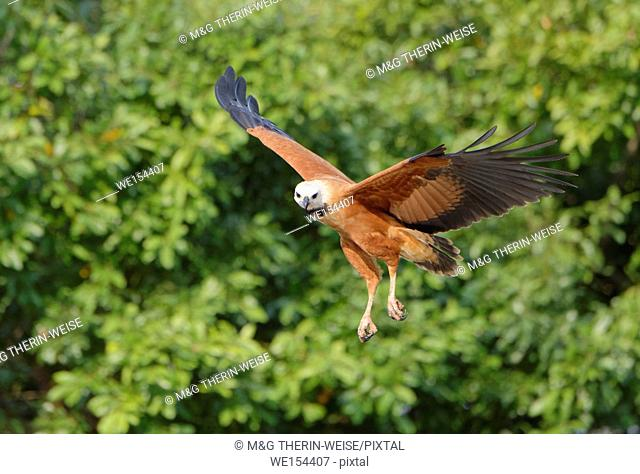 Black-collared Hawk (Busarellus nigricollis) in flight, Pantanal, Mato Grosso, Brazil