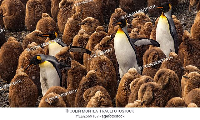 King penguin colony, Salisbury Plain, Bay of Isles, South Georgia, Antarctica