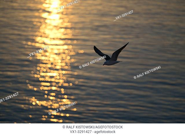 Lesser Black-backed Gull / Heringsmoewe ( Larus fuscus ) in flight above open water, backlight situation, golden sunlight shimmering on surface