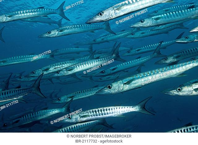 Shoal of Blackfin or Blacktail Barracudas (Sphyraena qenie) swimming in open water, Great Barrier Reef, UNESCO World Heritage Site, Queensland, Cairns