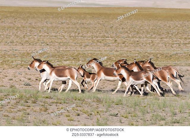 Wild ass or Kiang Pack, Tsokar, Ladakh, Jammu and Kashmir, India