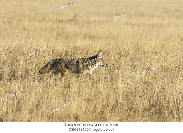 Gray wolf, Canis lupus, Yellowstone National Park, USA
