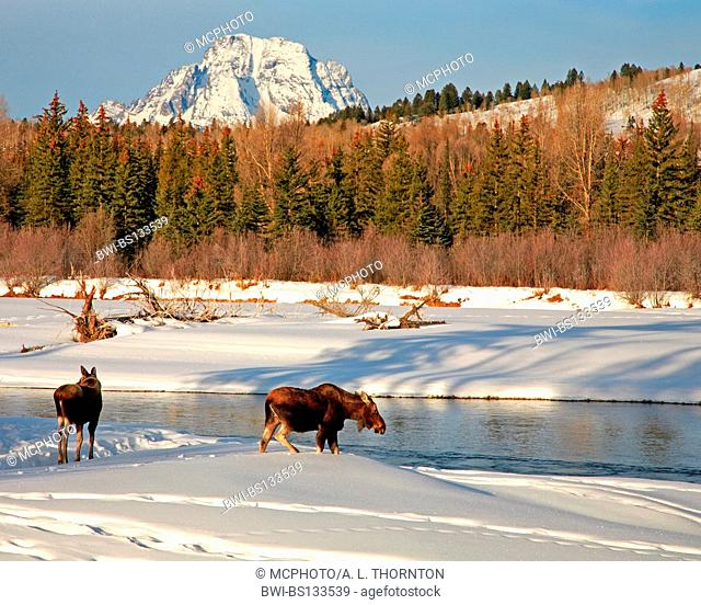moose, elk (Alces alces), two elks at river, USA, Grand Teton NP