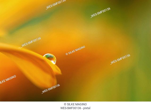 Calendula with raindrop, close-up