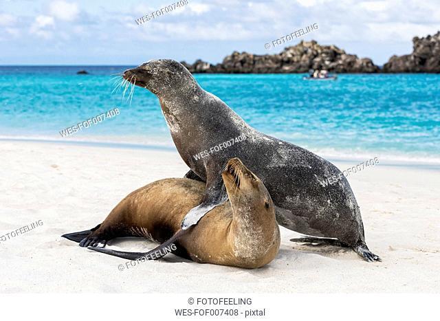 Ecuador, Galapagos Islands, Espanola, Gardner Bay, two sea lions on sandy beach at seafront