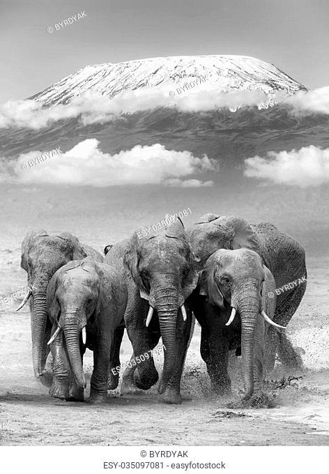 Elephant on Kilimanjaro mount. National park of Kenya, Africa