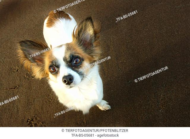 standing longhaired Chihuahua