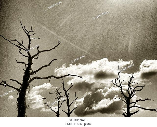 Bare cypress trees are silhouetted against a cloudy sky in Florida