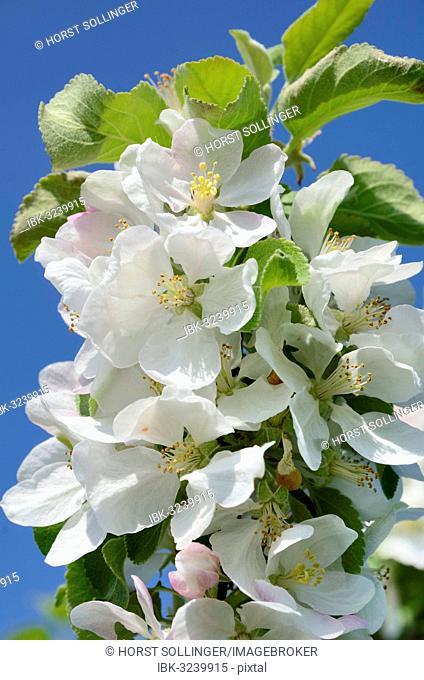 Apple blossom (Malus sp.), Bavaria, Germany