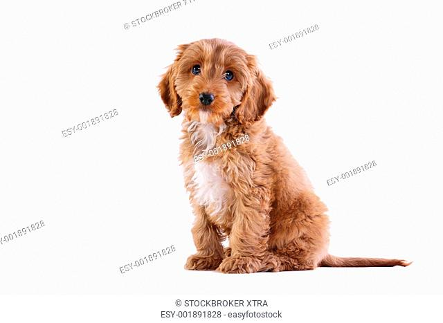 Photo of an 11 week old male red and white Cockatoo puppy, who is a F1 cross breed between a cocker spaniel and a poodle
