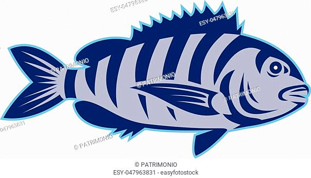 Illustration of a sheepshead (Archosargus probatocephalus) a marine fish viewed from the side set on isolated white background done in retro style
