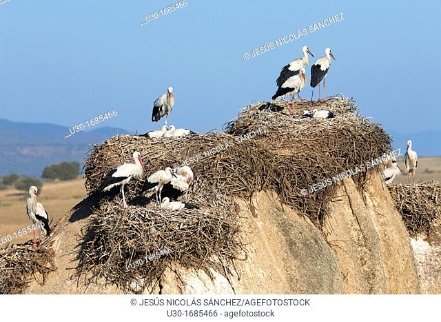 White storks Ciconia ciconia in their nest in Los Barruecos Monument Park, Cáceres province  Extremadura  Spain