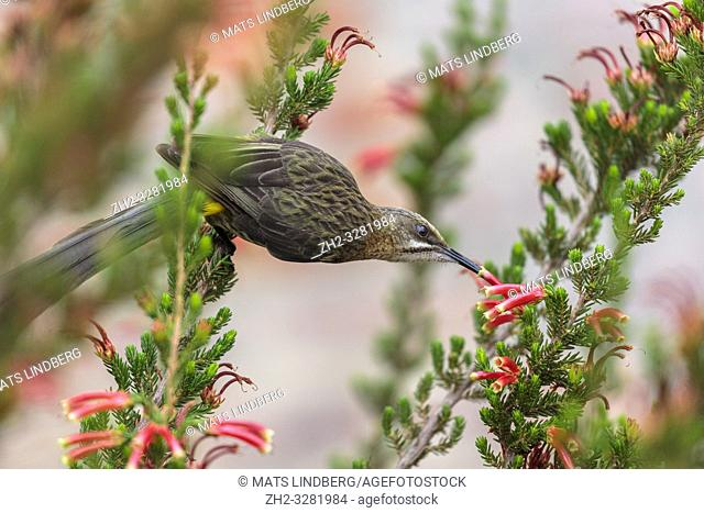 Male Cape sugarbird, Promerops cafer, sitting on a flower sucking nectar, Western cape, South Africa