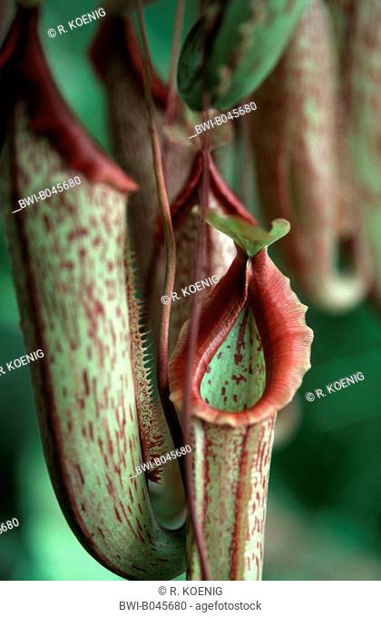 pitcher plant (Nepenthes Neufvilliana, Nepenthes x neufvilliana), special leaf for catching insects