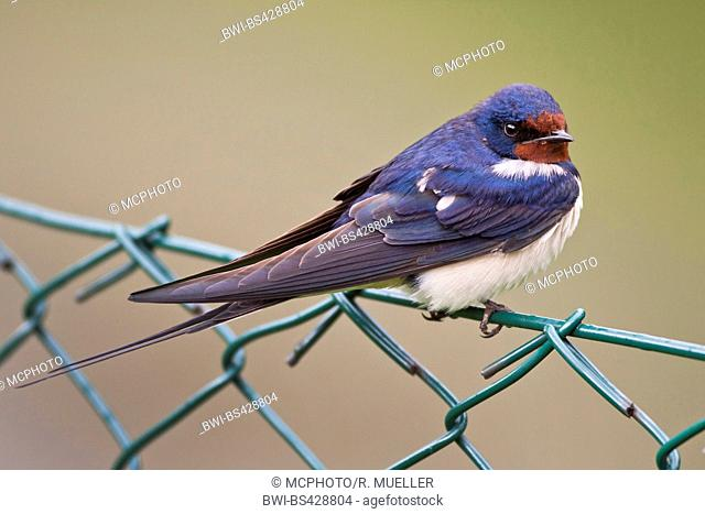 barn swallow (Hirundo rustica), sits on a wire-mesh fence, Sweden