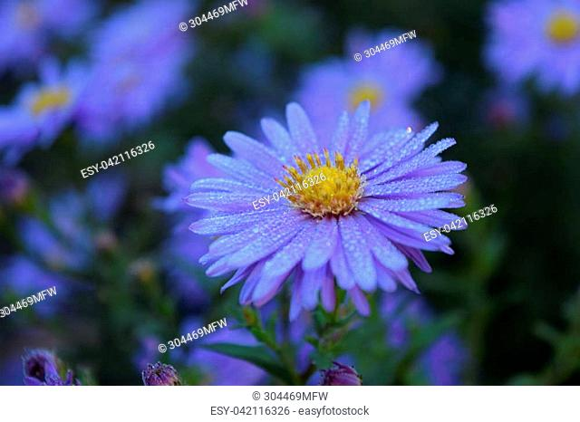 Beautiful lavender Aster flowers at the park