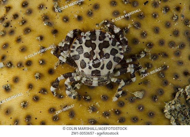 Harlequin Crab (Lissocarcinus orbicularis) on Brown Sandfish Sea Cucumber (Bohadschia vitiensis), Night dive, Dili Rock East dive site, Dili