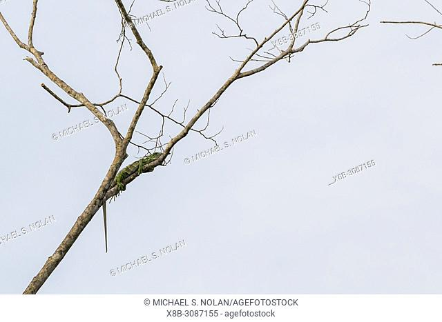 An adult green iguana, Iguana iguana, Yanallpa Caño, Ucayali River, Loreto, Peru