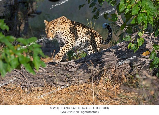 A leopard (Panthera pardus) is walking through bushes looking to hunt near the Vumbura Plains in the Okavango Delta in northern part of Botswana
