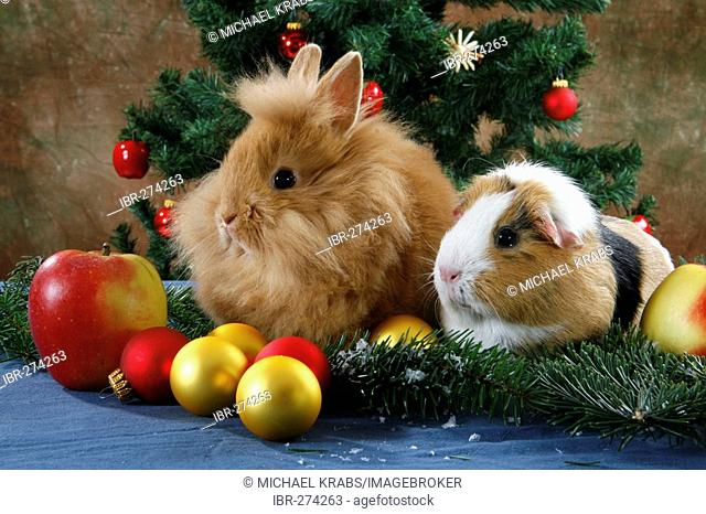 Pet Rabbit and Guinea Pig at Christmas time under the christmas tree