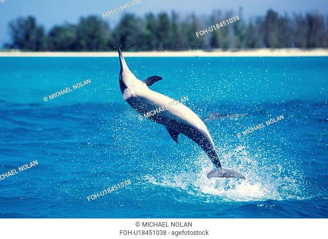 Spinner dolphin spinning in the Northwest Hawaiian Islands