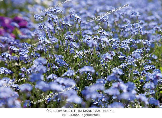 Flower bed, Forget-me-nots (Myosotis), Bundesgartenschau, Federal Garden Show, BUGA 2011, Koblenz, Rhineland-Palatinate, Germany, Europe