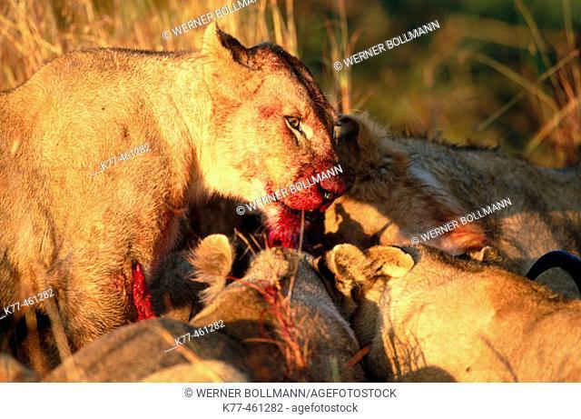Lionesses (Panthera leo) at kill. Masai Mara Game Reserve. Kenya