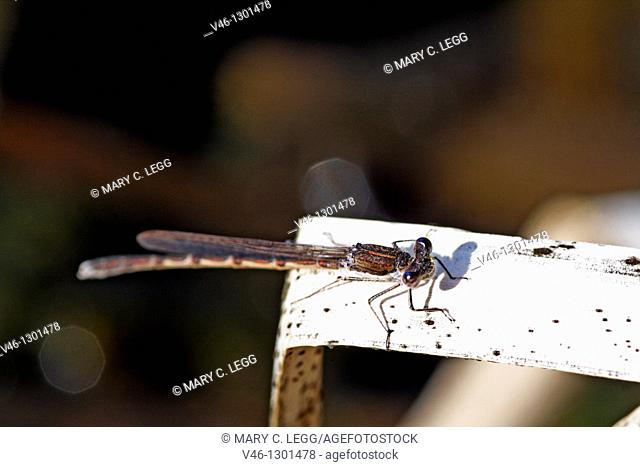 Winter Damselfly, Sympecma fusca  Female  Tail markings are clear  Looking up at the camera lens  The damselflies settle in the late evening  Image shot at dusk