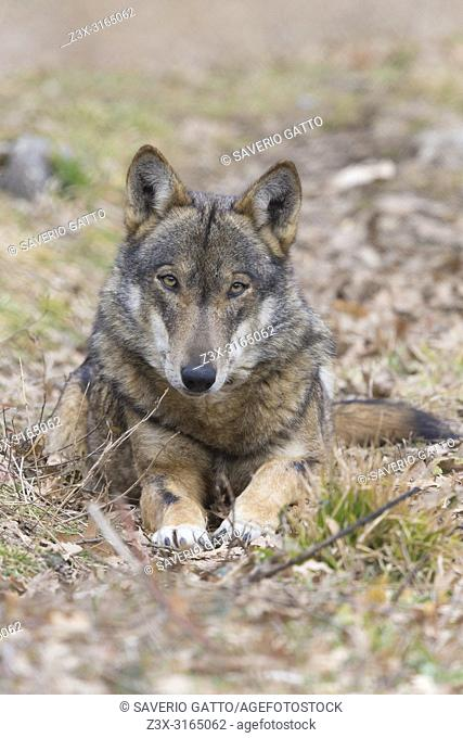 Italian Wolf (Canis lupus italicus), captive animal resting on the ground, Civitella Alfedena, Abruzzo, Italy