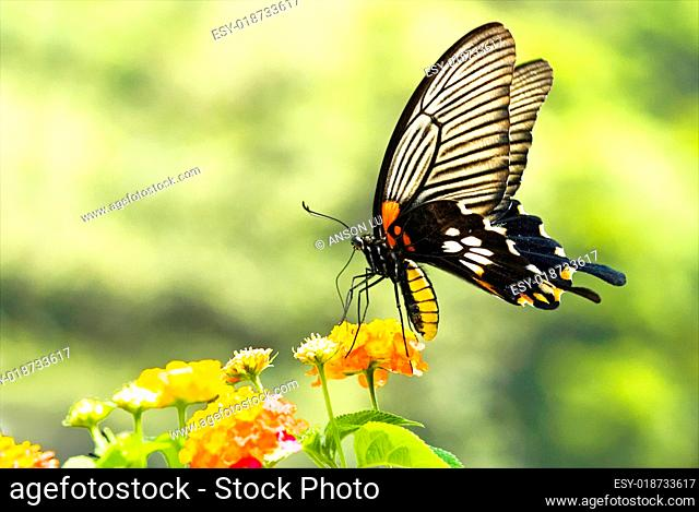 Brilliant swallowtail butterfly feeding on flowers