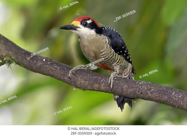 Black-Cheeked Woodpecker (Melanerpes pucherani). Ecuador